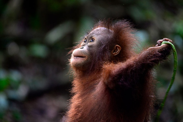 Hope for orangutans!