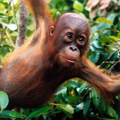Latest entries - The Orangutan Project